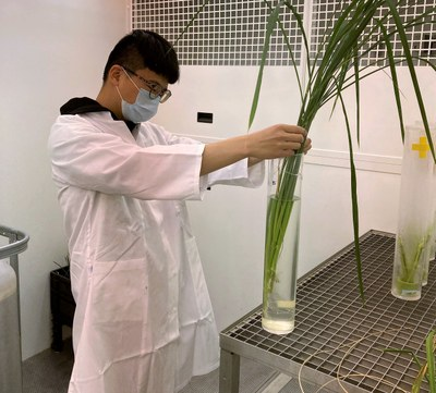 Scientist Chen Lin with rice plant in the lab