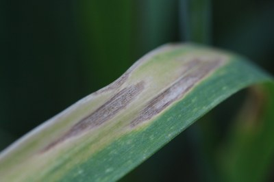 Wheat leaf with visible fungal infection