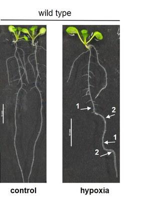 seedlings showing root bending